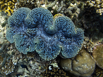 The Sea Clam