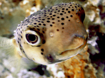 The Puffer Fish